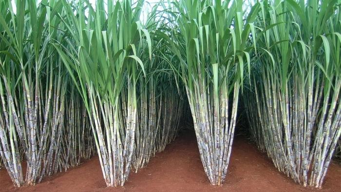 Brazilian Sugarcane Industry - The Brazil Business